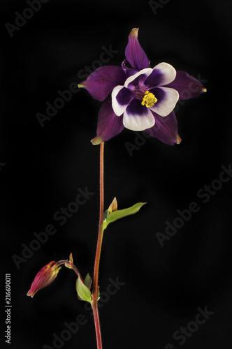 Aquilegia flower against black Wallpaper Mural