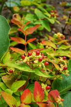 Tutsan Bush Blooming With Red Berries, Hypericum Androsaemum