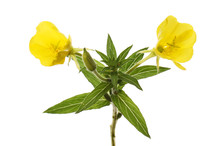 Evening Primrose Flower And Fo...