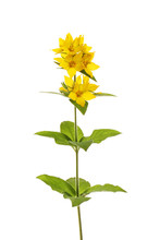 Yellow Loosestrife Flowers