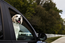 Portrait Of Dog Sticking Out Tongue While Looking Through Car's Window