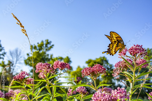 Fototapeta  A giant swallowtail butterfly visits marsh milkweed on a bright day with a clear blue sky