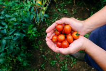 Fresh Ripe Red Cherry Tomato Food From Garden In Hands View From Above.