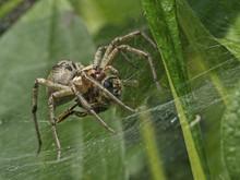 Funnel Spider Whit Prey, Trich...