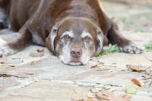 A Senior Dog Patiently Waiting