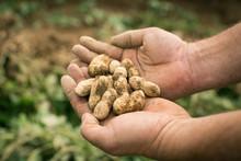 Farmer Hands Holding Peanuts