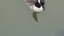 Goose And Carps
