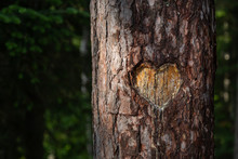 Heart Carved Into Tree Trunk I...