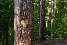 Heart Carved Into Tree Trunk In Forest