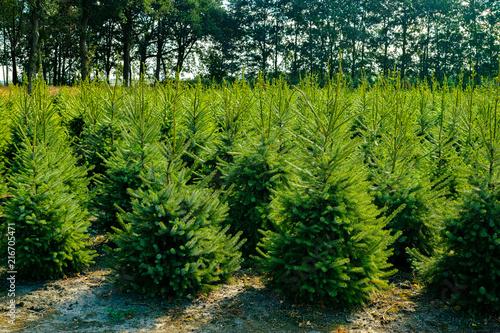 Fotografia Plantatnion of young green fir Christmas trees, nordmann fir and another fir pla