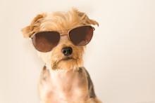 Closeup Of A Little Dog Wearin...