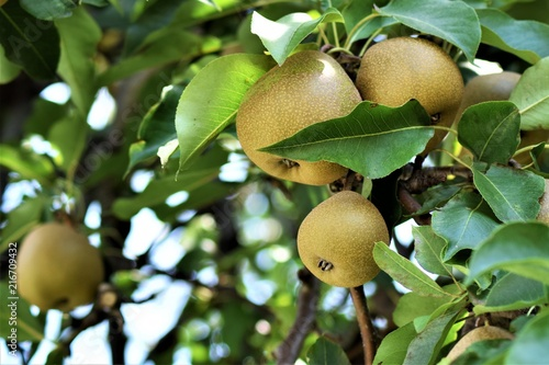 pears ready for fruit picking
