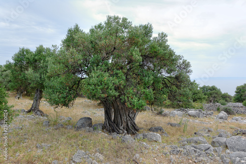 Stare drzewa oliwne na wyspie Pag