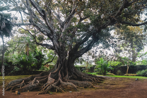 Ficus macrophylla, commonly known as the Moreton Bay fig or Australian banyan is Canvas Print