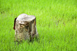 canvas print picture - old and alone stump in green lawn