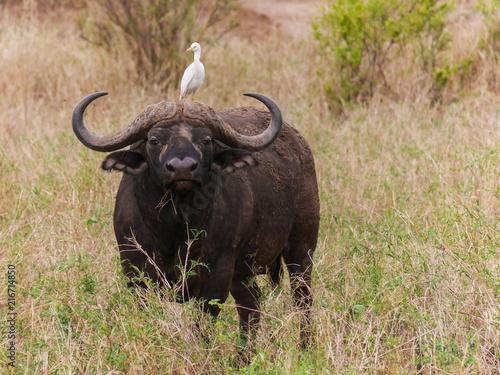 Keuken foto achterwand Buffel African black Cape buffalo