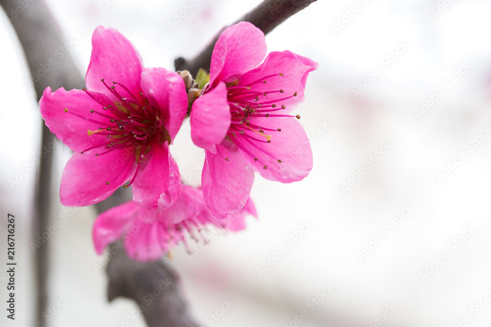 Flowering Apricot Spring Flowers Early Spring The Bright Colors Of