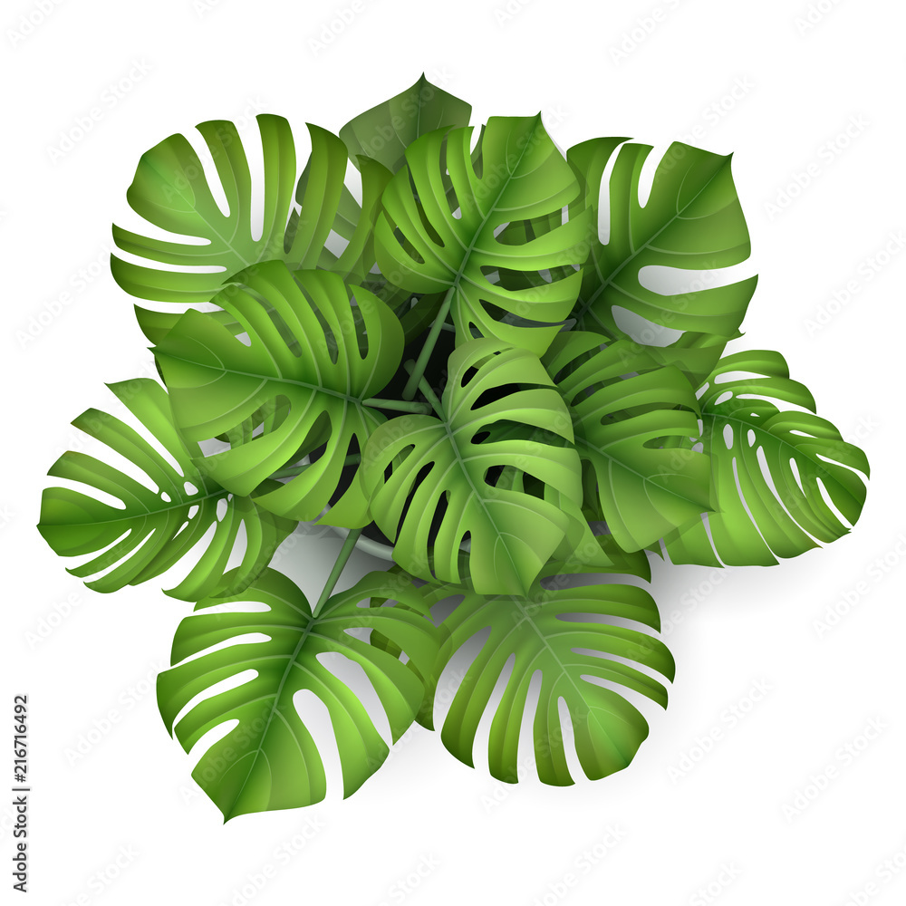 Fototapeta Monstera plant in a pot, top view. Houseplant for decorating the worktop. Vector 3d realistic style.