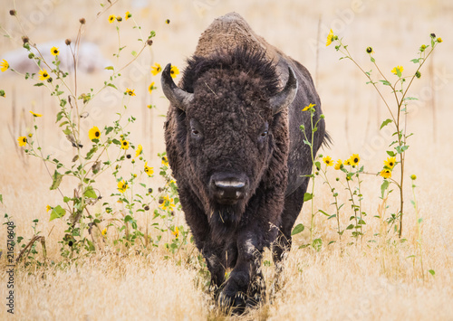 Spoed Foto op Canvas Bison Bison in Wildflowers