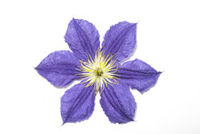 Pretty Clematis Flower And Pet...