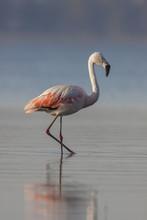 Chilean Flamingo In Ansenuza National Park, Cordoba, Argentina