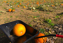 Pumpkins In A Vast Field Ready For Carving On Halloween.