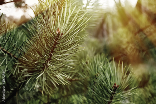 swieza-zielona-sosna-rozgalezia-sie-w-lesie-na-tle-wiosen-gory