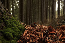 Beautiful Sunny Forest With Pine Cones And Stumps  In The Spring Mountains