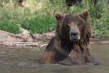 Alaskan Grizzly Bear (brown Bear) Swimming