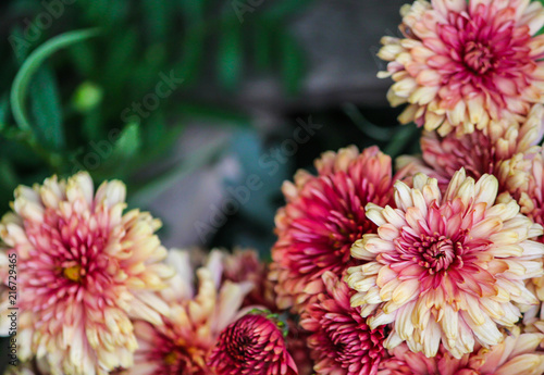 Foto op Canvas Bloemen Floral background of chrysanthemum.