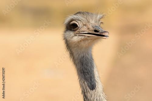 Fotobehang Struisvogel Head shot of an ostrich (struthio camelus)