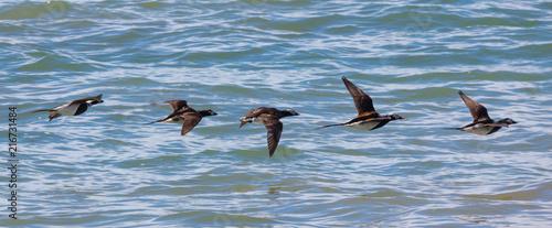 Flock of Long Tailed Ducks Flying
