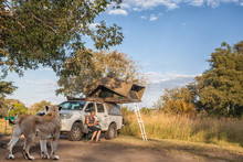Lion Visit At The Campsite In ...