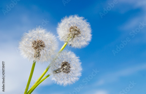 Three dandelion flowers with seeds on sunny day in deep blue sky background