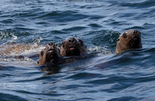 Three Sea Lions Swimming At The Camera With Heads And Noses Up Out Of The Water