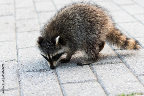 Fotografie, Obraz  A raccoon looking for food on the pavement