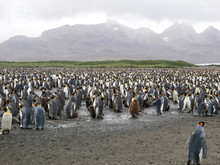 The Endangered King Penguins (Aptenodytes Patagonicus) In Antarctica.  A Large Colony On South Georgia.