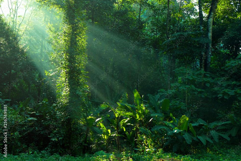 Fototapeta rainforest and sunbeam at morning