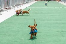 Wiener Dog Race 2