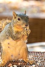 Eastern Fox Squirrel, Fox Squirrel, Bryant's Fox Squirrel - Sciurus Niger