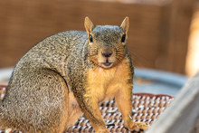 Eastern Fox Squirrel, Fox Squi...