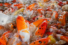 Carp Fish Pond Background, Colorful Background, Fancy Carp, Nice Fish