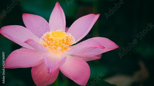Beautiful Lotus Flowers Images Free Flowers Healthy