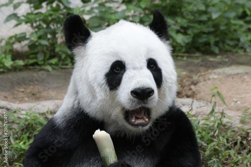 Keuken foto achterwand Panda Female Giant Panda , Lin Hui, Chiangmai Zoo, Thailand