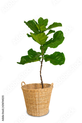 Fototapeta Potted Ficus Larata or Fiddle Leaf Fig Tree Isolated on White Background