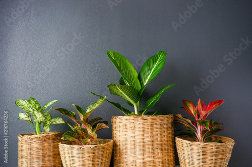Fotografía  Aglaonema  or Chinese Erergreen in wicker baskets