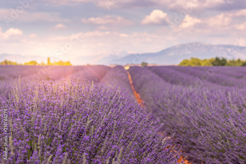 Photo Stands Lavender Champ de lavande de Valensole