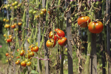 Sick Tomatoes In The Garden, T...
