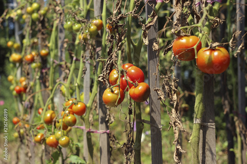 Sick tomatoes in the garden, the vegetables infected with late blight, a blight Wallpaper Mural