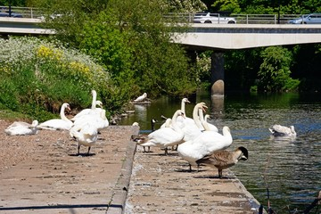 Swans on the River Trent with the A5189 road bridge to the rear, Burton upon Trent, UK.